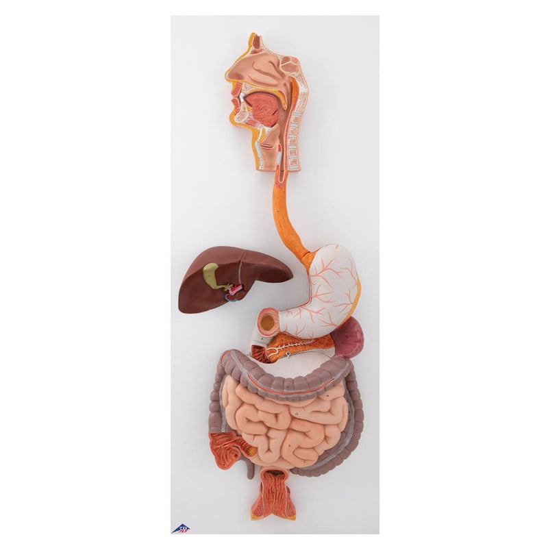 Human Digestive System, 3-part - Includes 3B Smart Anatomy