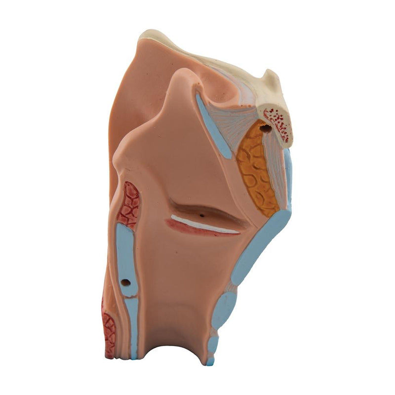 Human Larynx Model, 2-part - Includes 3B Smart Anatomy