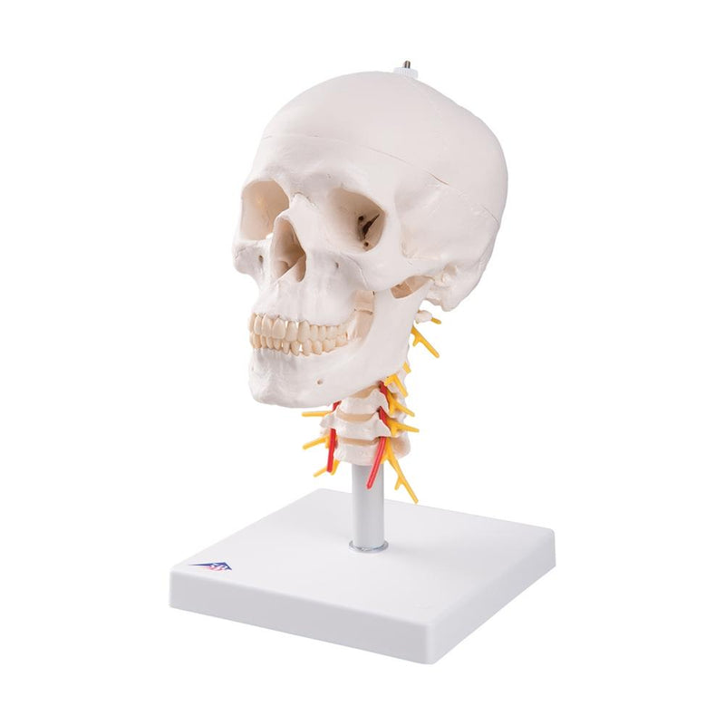 Human Skull Model on Cervical Spine, 4 part - Includes 3B Smart Anatomy