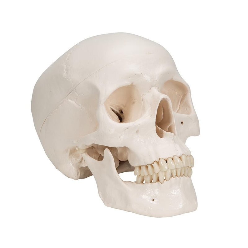 Human Skull Model with 5 part Brain - Includes 3B Smart Anatomy