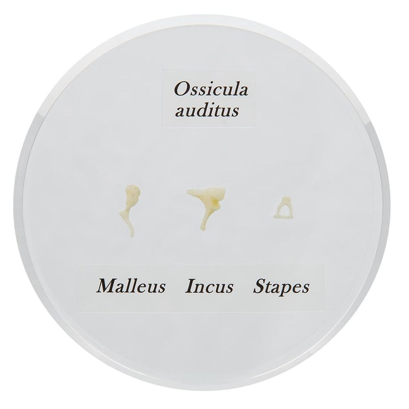 Life-size Auditory Ossicles