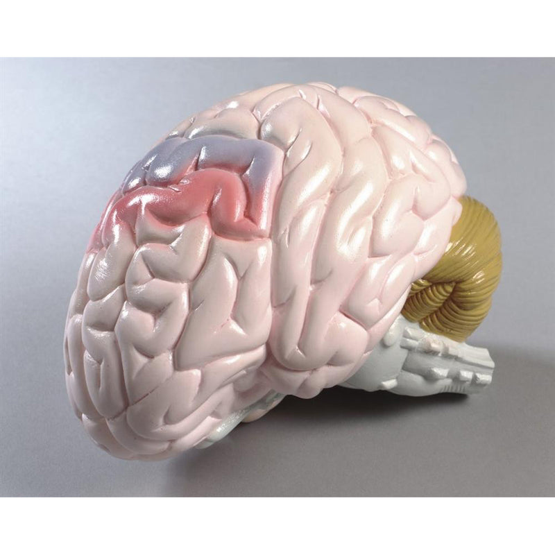 Life-size Brain Model 2-part (0155-00)