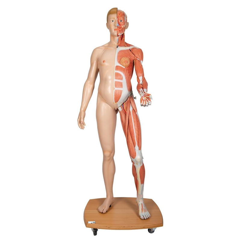 Life-Size Dual Gender Human Body, 39-part - Includes 3B Smart Anatomy