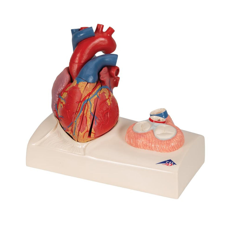 Life-size Magnetic Heart Model and Cardiac Valves, 5 Parts - Includes 3B Smart Anatomy