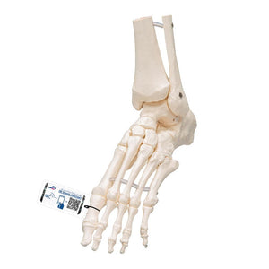Loose Foot and Ankle Skeleton - Includes 3B Smart Anatomy