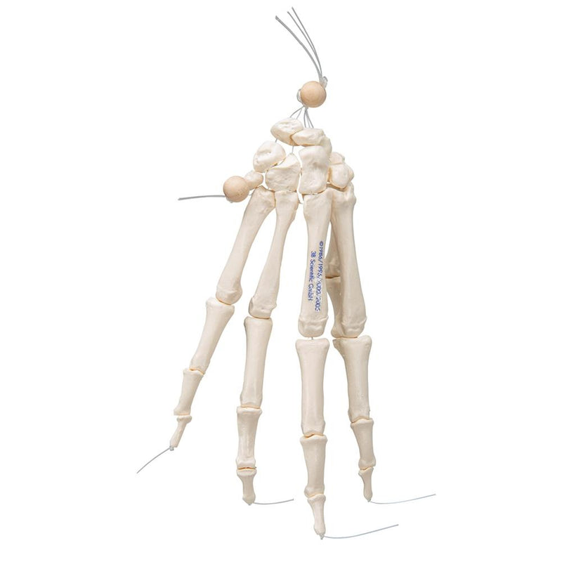 Loose Hand Skeleton Model - Includes 3B Smart Anatomy
