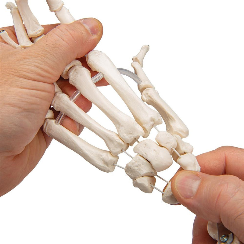 Loose Hand Skeleton with Ulna and Radius - Includes 3B Smart Anatomy