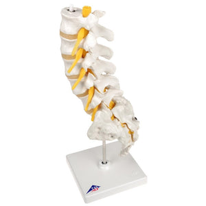 Lumbar Spinal Column Model - Includes 3B Smart Anatomy