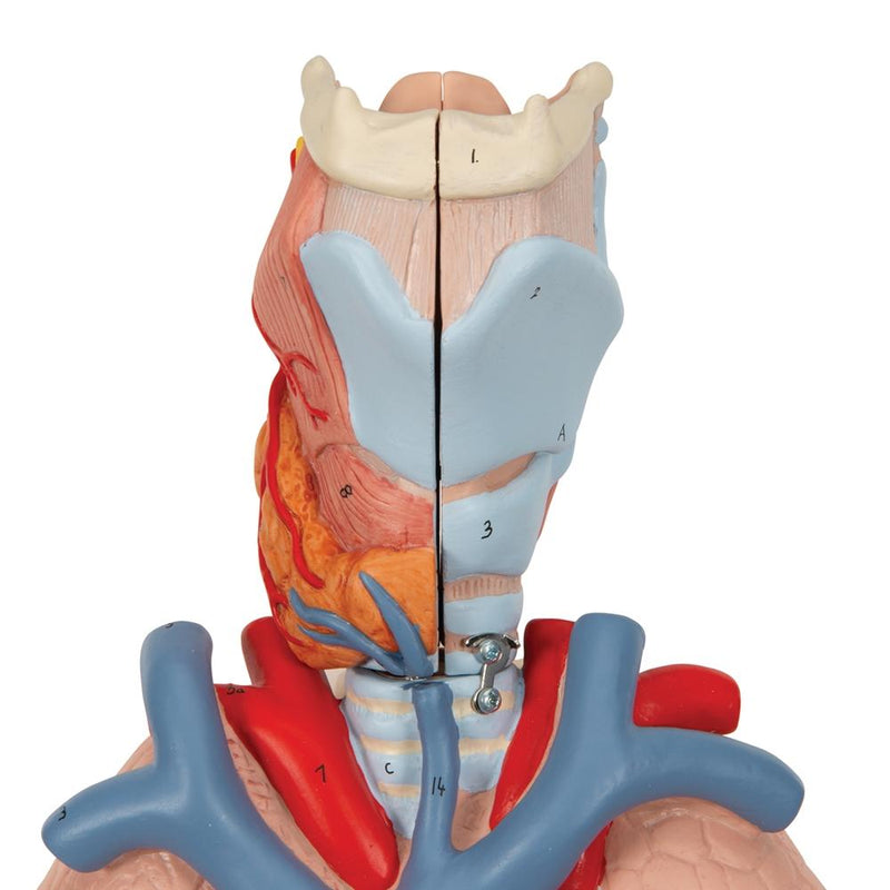 Lung Model with Larynx, 7 part - Includes 3B Smart Anatomy