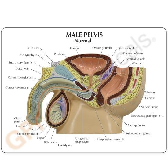 Male Pelvis Cross Section w- BPH Insert