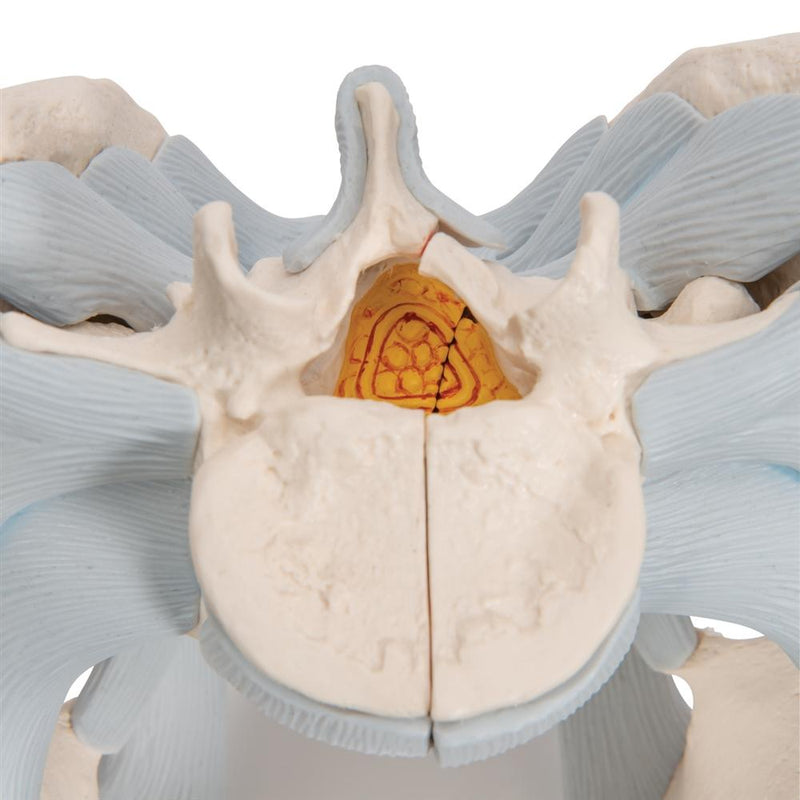 Male Pelvis with Ligaments, 2-part - Includes 3B Smart Anatomy
