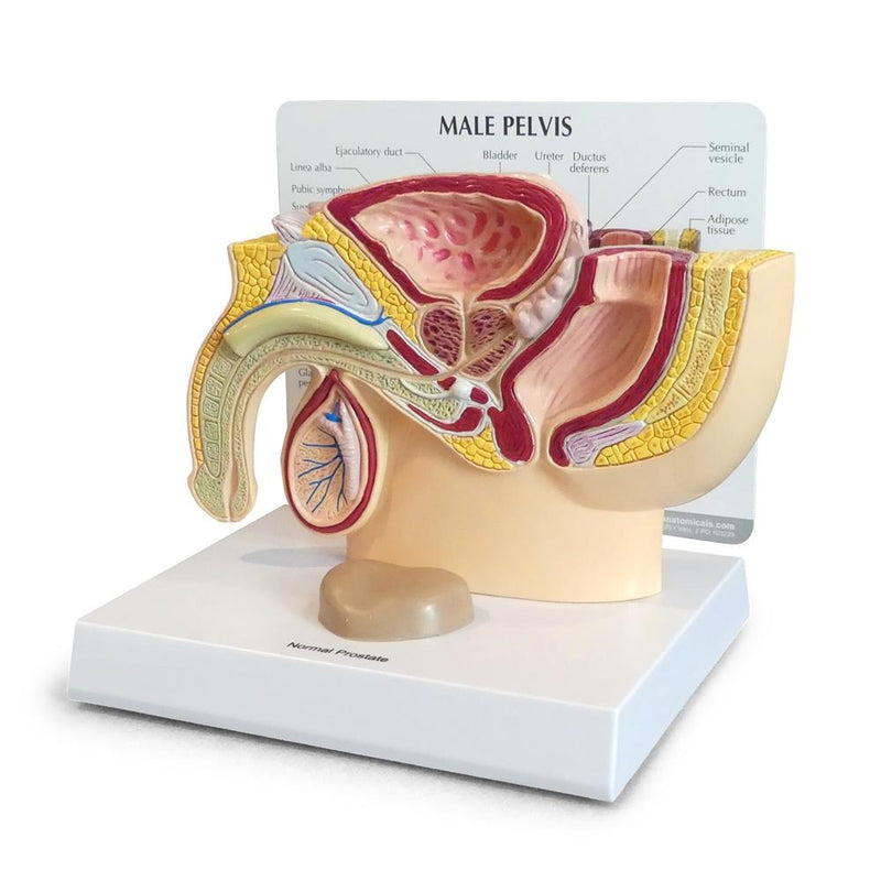 Male Pelvis with Prostate Model