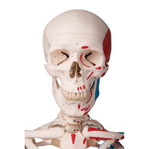Max Skeleton with Painted Muscle Origins and Inserts on Pelvic Stand - Includes 3B Smart Anatomy