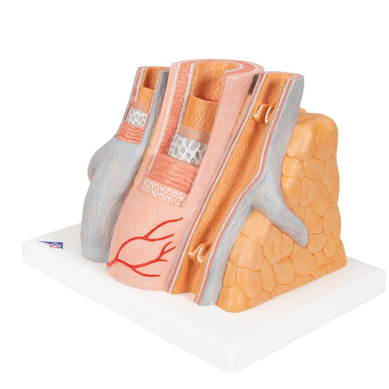 MICROanatomy Muscular Artery and Vein Model Enlarged 14 times - Includes 3B Smart Anatomy