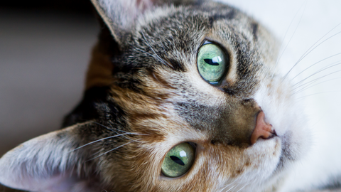 7 Facts About Cat Eye Colors