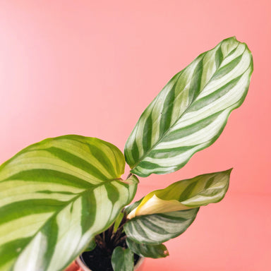 Calathea 'Freddie' - Friends or Friends