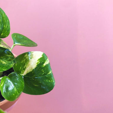 Devil's Ivy (Golden Pothos) - Friends or Friends