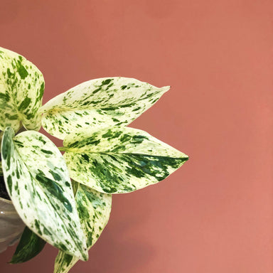 Marble Queen Pothos - Friends or Friends
