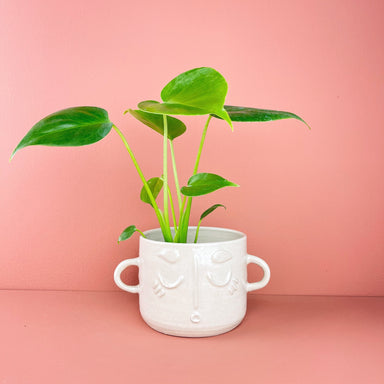Monstera deliciosa - Friends or Friends