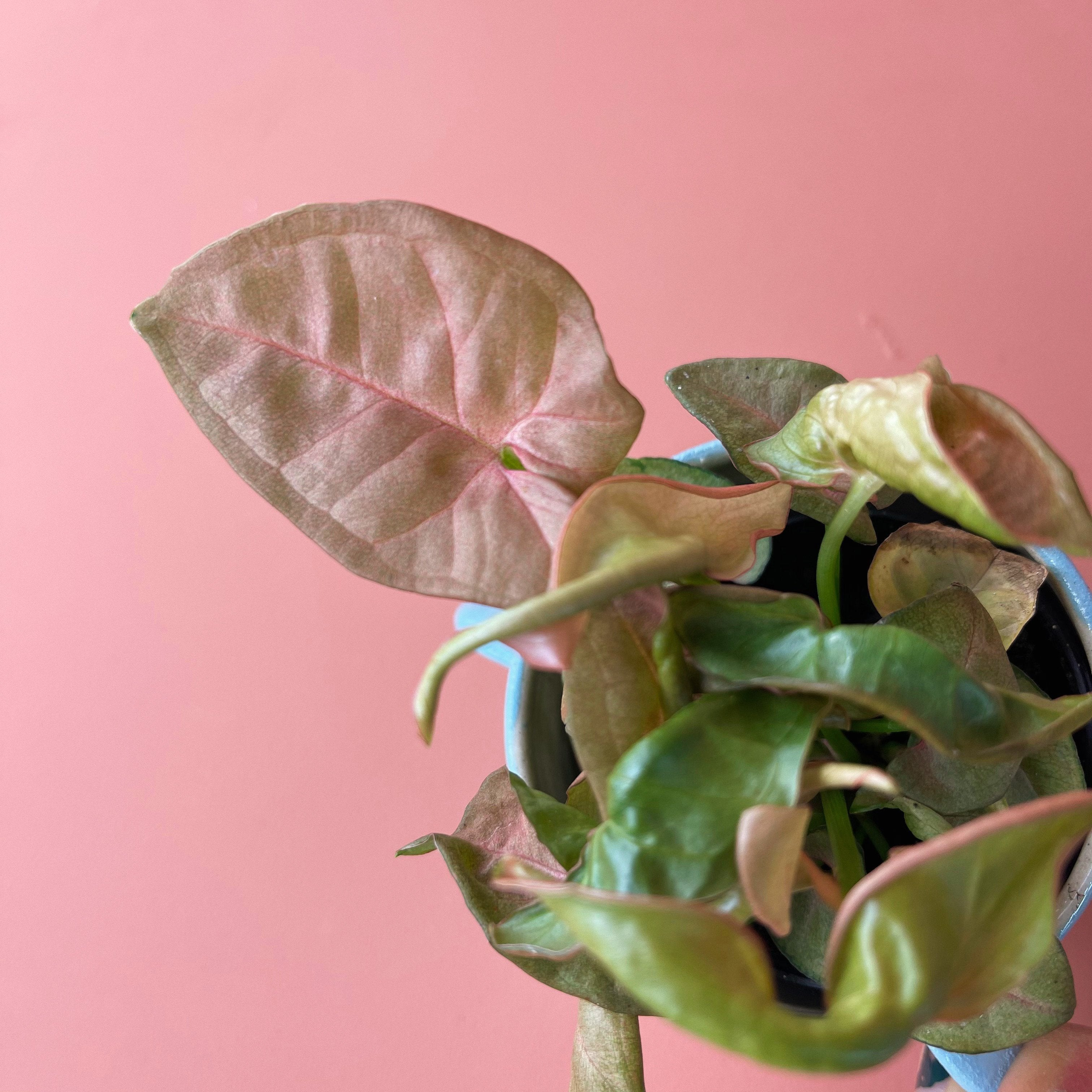 Pink Syngonium - Friends or Friends