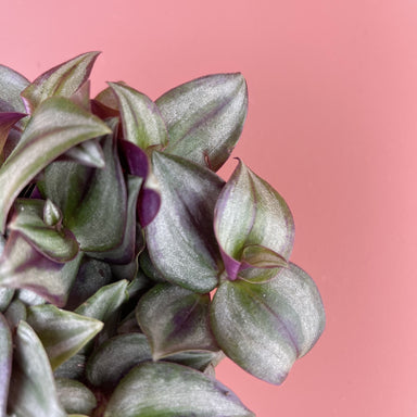Tradescantia albiflora 'Pink Joy' - Friends or Friends