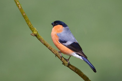 Bullfinch (Pyrrhula pyrrhula) – Photo credit: Stan Ashbourne (https://www.flickr.com)