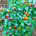 Organic Grapes Chilli Seeds - Open Pollinated