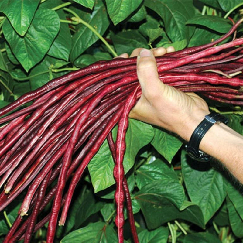 Organic Red Long Beans Seeds - Open Pollinated