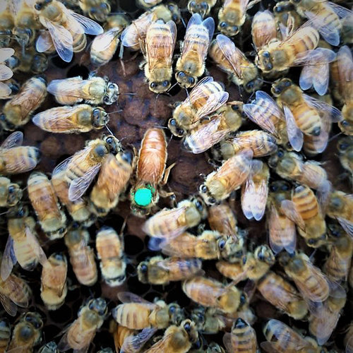 Mated Overwintered Queen Bees from Pūtake Queen Co New Zealand