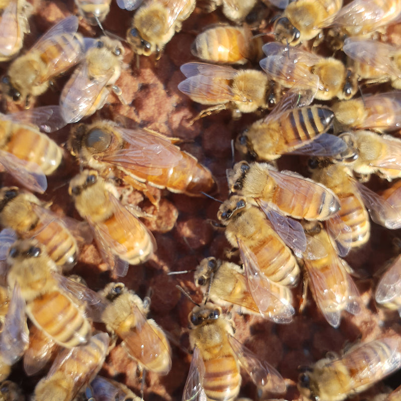 Mated Queens from Pūtake Queen Co New Zealand