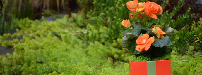 Tangerine Tango FlowerBox Cube with Begonia
