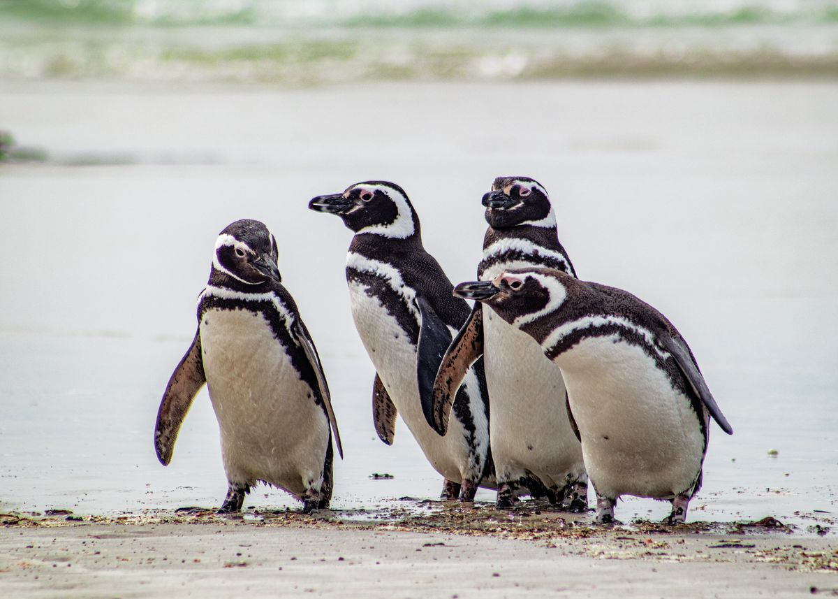 Magellanic Penguin Boy Group