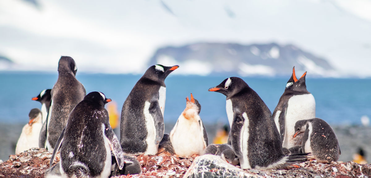 Gentoo Penguin Rookery with Chicks