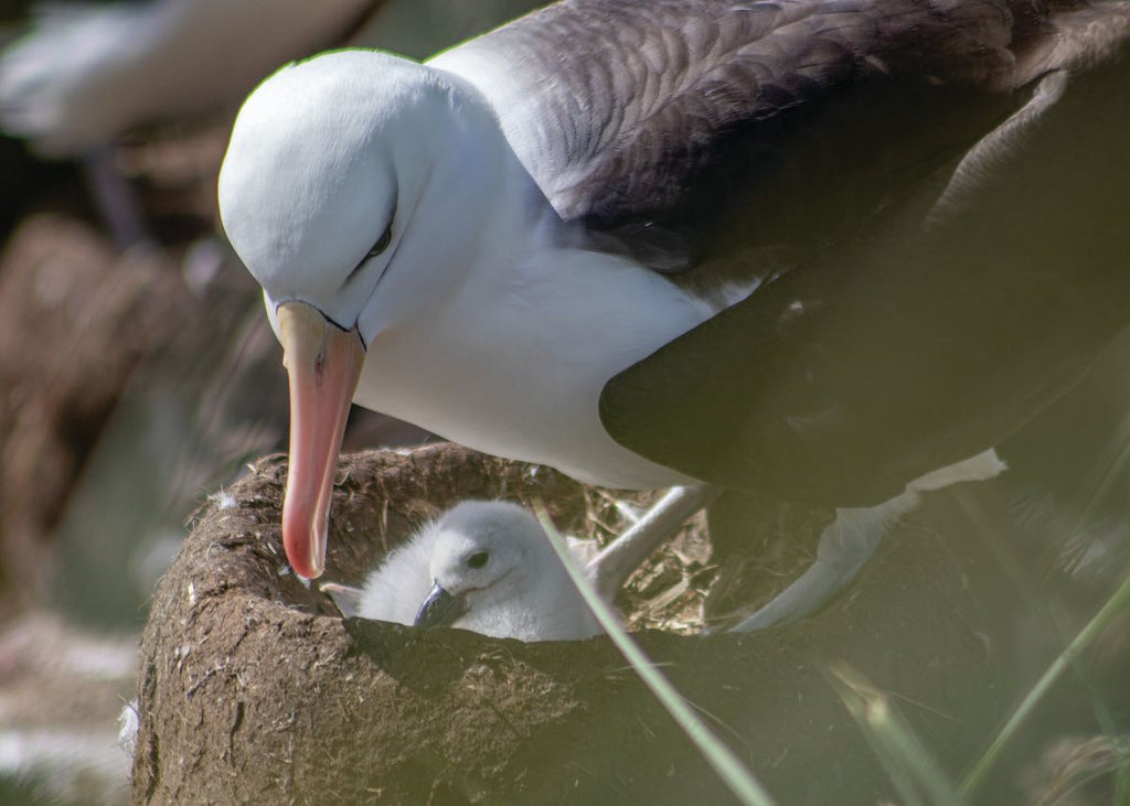 Black-Browed Albatros with Chick