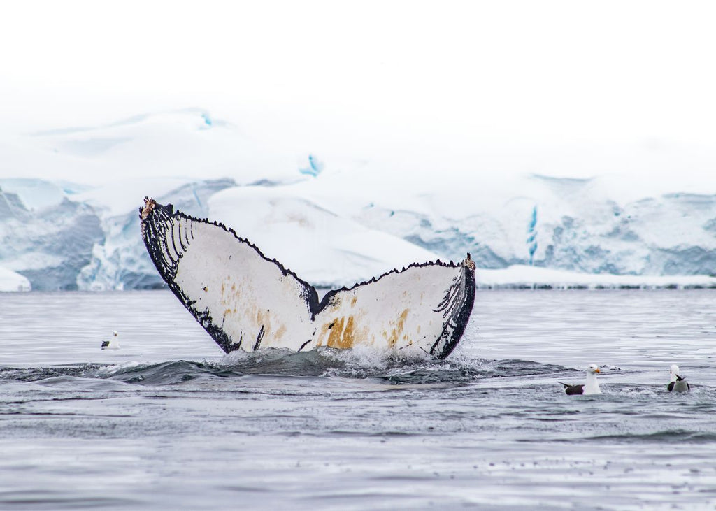 Humpback Fluke at Wilhelmina Bay
