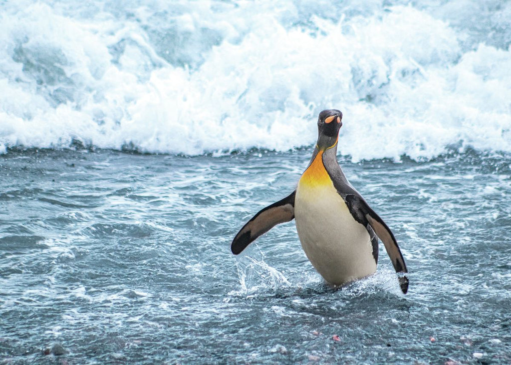 King Penguin Emerging from the Ocean