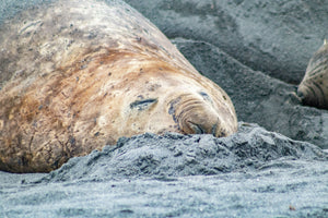 Moulting Juvenile Southern Elephant Seal