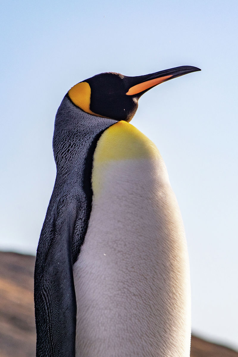 Portrait of a King Penguin
