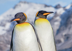 Pair of King Penguins