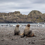 Fur Seals at Elephant Point