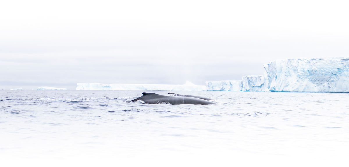 Humpback Whales in front of Iceberg A-68A