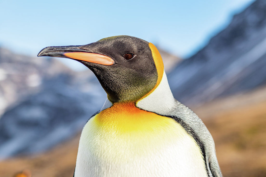 King Penguin Portrait