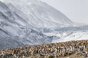 King Penguin Rookery at St Andrews Bay