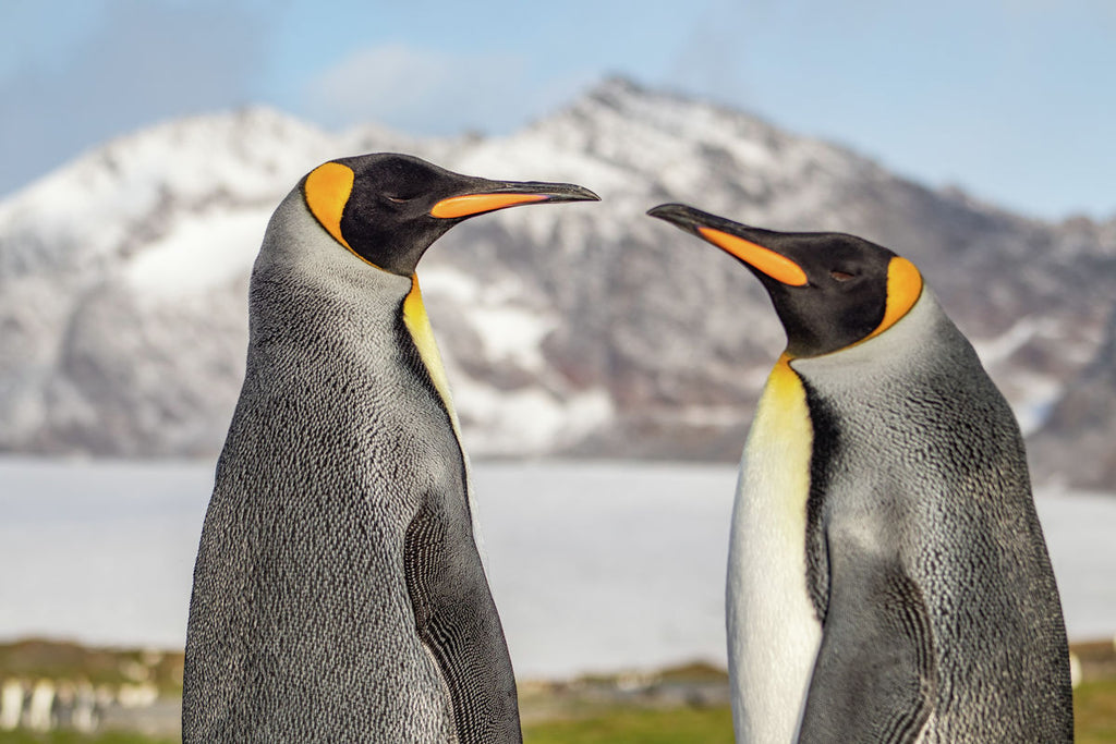 Pair of King Penguins at St Andrews Bay