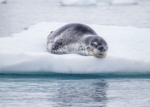 Leopard Seal on Ice at Danco Island