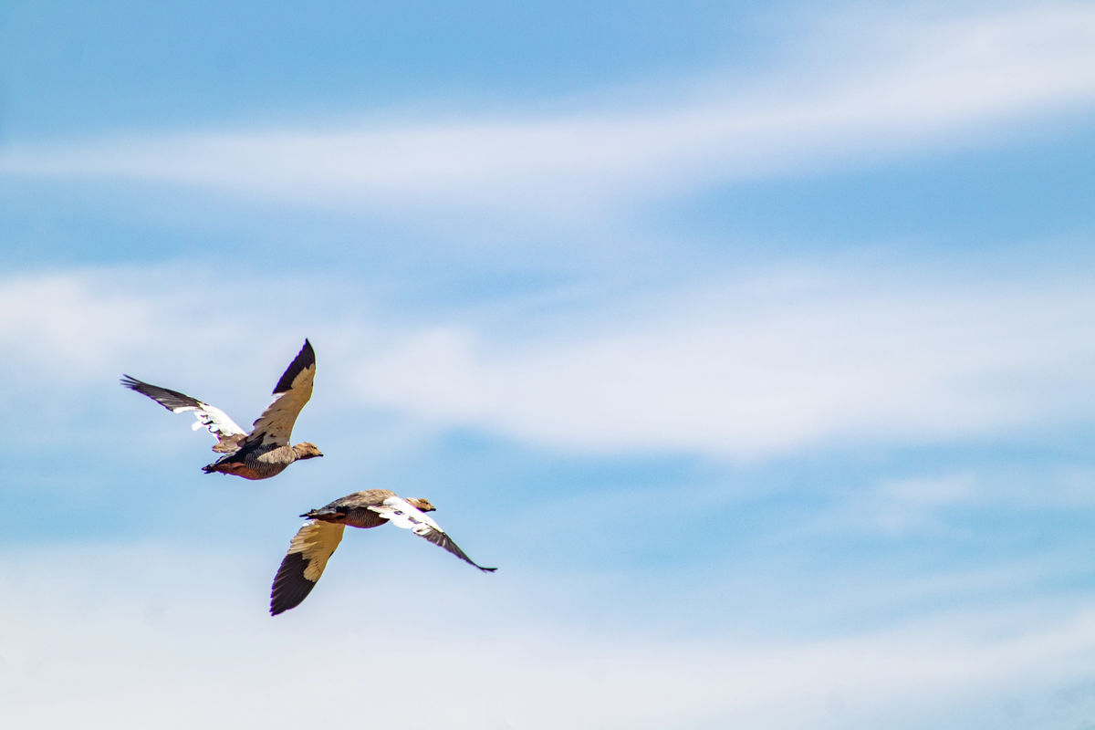 Flying Upland Geese