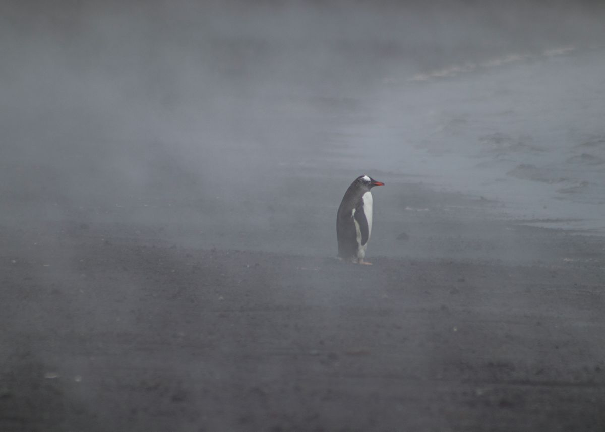 Gentoo Penguin at the beach