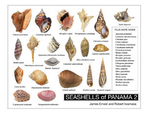 SEASHELLS of PANAMA 2 (by Robert Iwamasa)