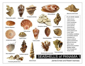 SEASHELLS of PANAMA 1 (by Robert Iwamasa)