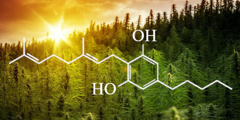 It seems like CBG is everywhere lately, even in CBD concentrates! But what is CBG? Find out all about this minor cannabinoid with major potential at Sauce Warehouse